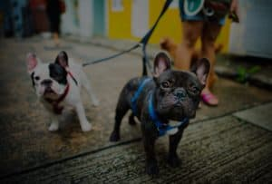 French bulldogs on leashes